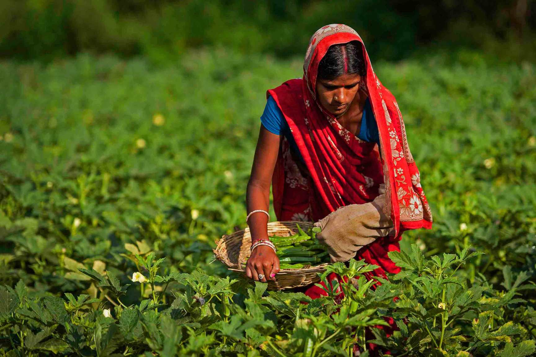 A lady harvesting tea leaves from a farm